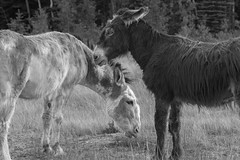Overwatch (-mtnoxx-) Tags: animals donkey highcontrast blackandwhite ranching grazing grass