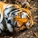 Artem of Male Amur Tiger : アムールトラのアルチョム