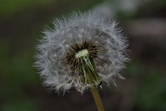 Dandelion (Shieldskatiec) Tags: photography nature naturephotography dandelion wishes flower