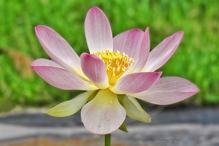 My most favorite flower - the splendid Lotus