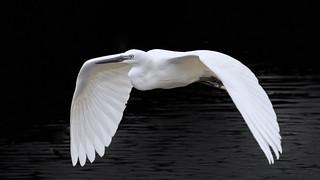Mid Summer Egret
