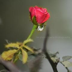 #nature#Red#Rose#Flower#water#Droop#colourfull#nikon#macro#N.D.Photography (niranjandate) Tags: nikon droop red nature rose n colourfull water flower macro