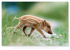 Piglet (Luuk Belgers) Tags: wildboar piglet youngboar thenetherlands wildlife naturephotography