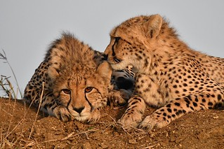 relaxed Cheetah Cubs at Sunset