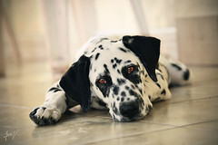 'Angel eyes.' (JerneiV.) Tags: puppy oldpic nikon nikkor dog dalmatian mydog throwback