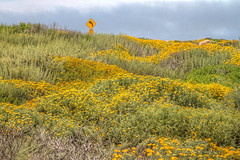 IMG_0112_114 Pebble Beach HDR (vicjuan) Tags: 20170625 美國 usa 加州 california montereycounty hdr tonemapping pebblebeach geotagged geo:lat=36608672 geo:lon=121953878 花 flower