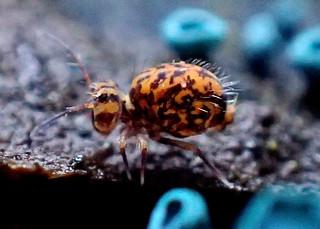 Ptenothrix marmorata