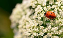 ladybug (Karen McQuilkin) Tags: ladybug macro queenannslace