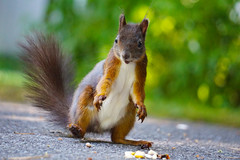 Dancing from joy (a bit of goodness) Tags: squirrel