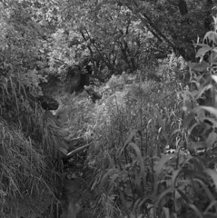 Secluded stream (Other dreams) Tags: dense brush overgrown grass stream vistula bank valley bw film fp4 paranols 150 100asa nature landscape rolleiflex pomerania poland square 6x6