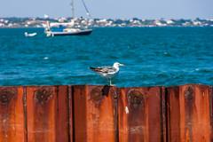 Algarve 2013 (120) (ludo.depotter) Tags: 2013 algarve boot kust olhao riaformosa meeuw