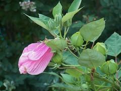 pretty (MissyPenny) Tags: flower hibiscus garden pink plant bristolpennsylvania