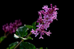 Fragrant Chinese lilac blooms for the 2nd time... (scorpion (13)) Tags: chinese lilac syringa chinensis flower blossom fragrant nature plant bush garden color creative summer sun