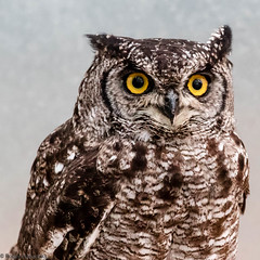 Owl at Anston Butterfly House (Roger Hanuk) Tags: naturalworld birdunknown birds butterflyhouse england kodakektar southanston southyorkshire xequals northanston unitedkingdom