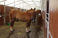 Shire (favmark1) Tags: kent kentcountyshow saturday detling shire shirehorse