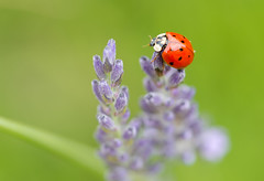 a ladybug moment.. (Explored) (gilliesavo. Catching up :)) Tags: macro ladybug bokeh capture posing lavender nature beauty hangingaround