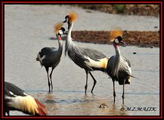 GREY CRESTED CROWNED CRANE BIRDS (Balearica regulorum)......NAIROBI NAT.PARK......AUG,2009 (M Z Malik) Tags: nikon d700 80400mmf4556 kenya africa safari wildlife nairobinatpark exoticafricanwildlife exoticafricanbirds ngc