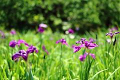 IMG_2626 (okiee8125) Tags: 浜離宮恩賜公園 庭園 park 花菖蒲 花 flower