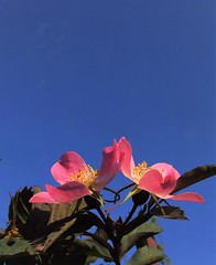 high five! (jenbrasnett) Tags: highfive 7dwfflorafriday fivepetals pink rosa rubrifolia glauca clearbluesky makemesmile