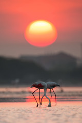 Hide and Seek in Sunrise (Niroshan777) Tags: sunrise morning birds flamingoes food seeking walking serene sun golden epic canon 5d mark iii 500mmf4 natgeo national geography
