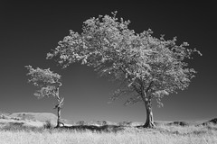 Watching over you (Peter Henry Photography) Tags: trees big small infrared ir blackandwhite sunny sunshine summer monochrome