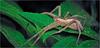 Nursery Web Spider (Small Creatures) Tags: anamorphic cinemascope d60 iscorama isco iscoramacloseup iscoramamacro anamorphicmacro anamorphiccloseup nikkorh85mm nikond60 nurserywebspider pisauridae spider speedlight diffuser
