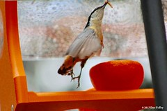 © Dan Gulley (WBU Barrie) Tags: wildbirdsunlimited wbubarrie barrie birds birding birdfeeding backyardbirds backyardbird birdfeeders simcoecounty ontario canada nature wildlife redbreasted nuthatch mealworm oriole insect
