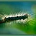 Macro study on caterpillar - 5 (cienne45) Tags: macro caterpillar bruco insect insetto bokeh animal