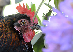 Mia Marans (mechanicalArts) Tags: marans chicken huhn hen henne flower garden garten