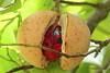 Nutmeg fruit, Pulau Ternate, Moluccas Indonesia (Sekitar) Tags: indonesia maluku utara malut provinsi ternate pulau island moluccas molukken insel nutmeg fruit muskatnuss nature pala alam earthasia