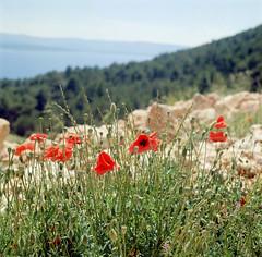 Brač (HolmisticWalker) Tags: kodakektar100 6x6 500x500 yashicamat124g square brač croatia poppies