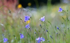 Summer feelings (janrs7) Tags: summertime summermeadow summerfeelings happiness harebell bluebell wildflowers flowers meadow tamron70300mm summer bokeh smoothbokeh