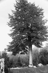 Pero ¿quién plantó ese árbol para que de él saliéramos y en él nos encerráramos? (.KiLTRo.) Tags: villarrica ixregión chile kiltro tree coihue nature swing mountains mist fog flowers landscape