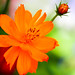 close+up+orange+flower+with+a+green+background