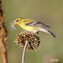 Goldfinch Enjoys Thistle Seeds (dcstep) Tags: aurora colorado unitedstates us n7a9119dxo finch goldfinch americangoldfinch bird perched thistle green bokeh allrightsreserved copyright2017davidcstephens dxoopticspro114 canon5dmkiv ef500mmf4lisii ef20xtciii ngc npc getty ecoregistrationcase15586202651