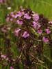Sumpfblüten im Südermoor - Sumpf-Läusekraut (Pedicularis palustris); Norderstapel, Stapelholm (7)