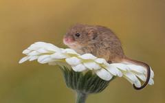 Harvest mouse (Explored) (susie2778) Tags: captivelight captive studio olympus 60mmmacrof28 mft macro gerbera olympusem1mkii harvestmouse mice
