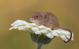 Harvest mouse (Explored)