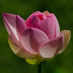 Lotus-6.jpg (BoCat31) Tags: fleur rose lotus