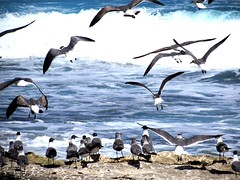 Seagull beach (thomasgorman1) Tags: gulls seagulls beach flying flock seabirds shore shoreline water wave lavarock rock nature canon