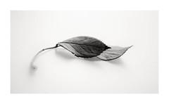2 (Velaeda) Tags: pflanzenstudie bw frame leaves macro stillife