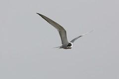 HNS_2195 Visdief : Sterne pierregarin : Sterna hirundo : Fluss-Seeschwalbe : Common Tern