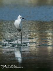 Little egret in West Looe River-13 (Neil Phillips) Tags: ardeidae aves egrettagarzetta littleegret neoaves pelecaniformes bird footed heron longlegs longneck yellow