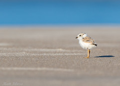 Vulnerability (Matt F.) Tags: bird piping plover chick shorebird pipingplover young