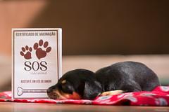 Puppy (Vinicius_Ldna) Tags: 5067 puppy filhote dog cachorro care caress sosvidaanimal adoção adoption srd viralata canon 70200 londrina parana brazil