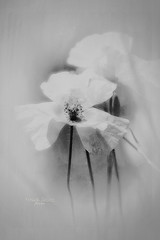 """Beauty in black and white..."" (Ilargia64) Tags: monochrome flower poppy blackandwhite nature beautyinnature amayasanchez"