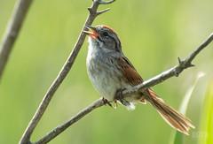 Bruant des marais // Swamp Sparrow (Alexandre Légaré) Tags: nikon d3200 marais stfrancois swamp marsh realdcarbonneau oiseau bird bruantdesmarais swampsparrow melospizageorgiana