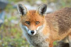 Vixen (davepsemmens) Tags: vixen fox wild eyes