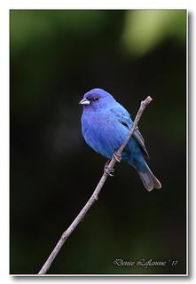 103A7202-2-DL   Passerin indigo (mâle) / Indigo Bunting (male)