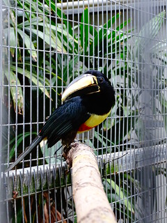 Black-necked aracari - Pose!